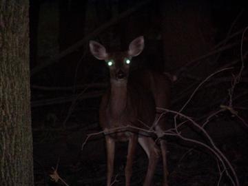 deer_in_headlights_0