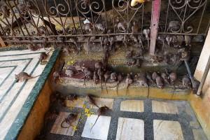 Rat Temple2