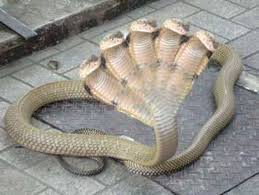 WORLD OF STORY: 5 Headed snake in India